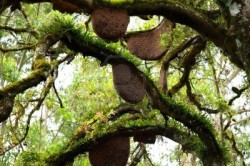 16150795-beehive-hanging-over-a-tree