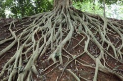8391044-amazing-chaos-tree-roots