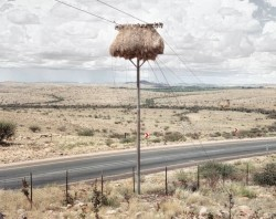 Bird_Nest_Hanging_on_a_Telephone_Pole002