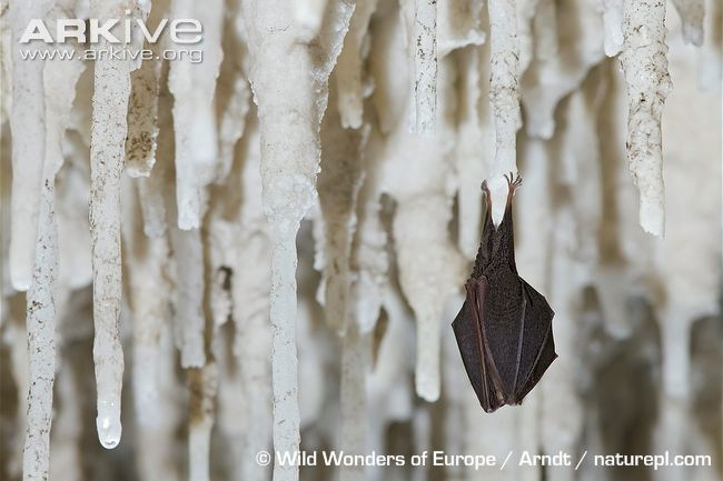 Lesser-horseshoe-bat-hibernating-amongst-stalactites