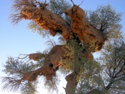 Weaver_Bird's_Nests-2