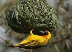 black_faced_weaver.sized