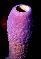 bonaire-purple-tube-sponge