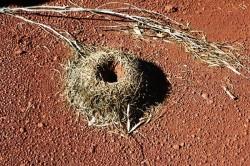 mulga_ant_nest