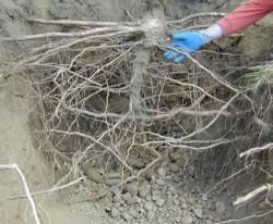 oak-roots2