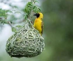 southern-masked-weaver-bird-nest-lg