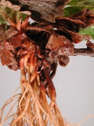 strawberry, black root rot