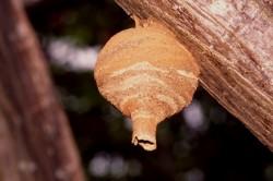 wasp-nest0007