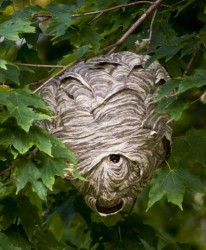 wasps-nest-4-cropped1