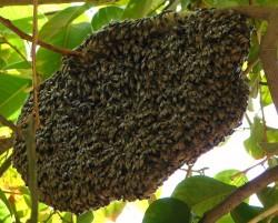 wild-beehive