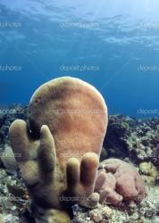 Pillar corals (Dendrogyra cylindricus)