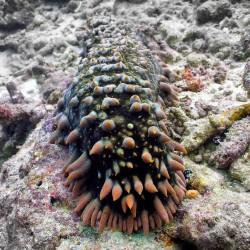 sea_cucumber_thelenota_ananas_IMG_0125